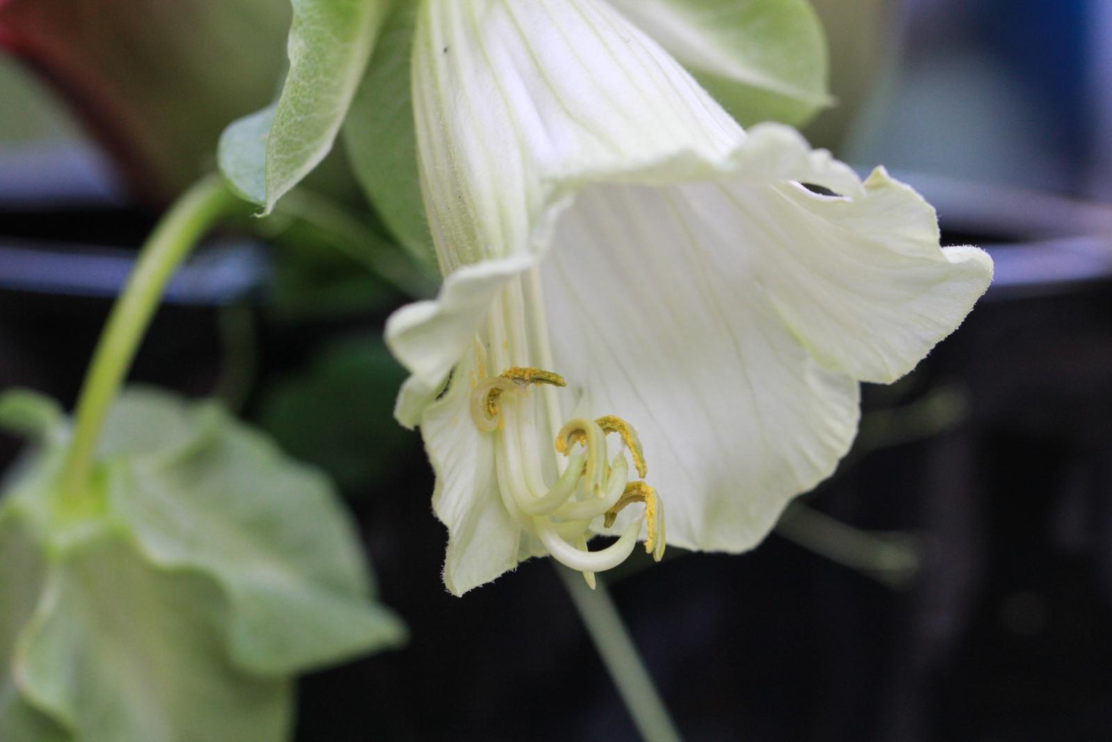 Cobaea scandens weiß