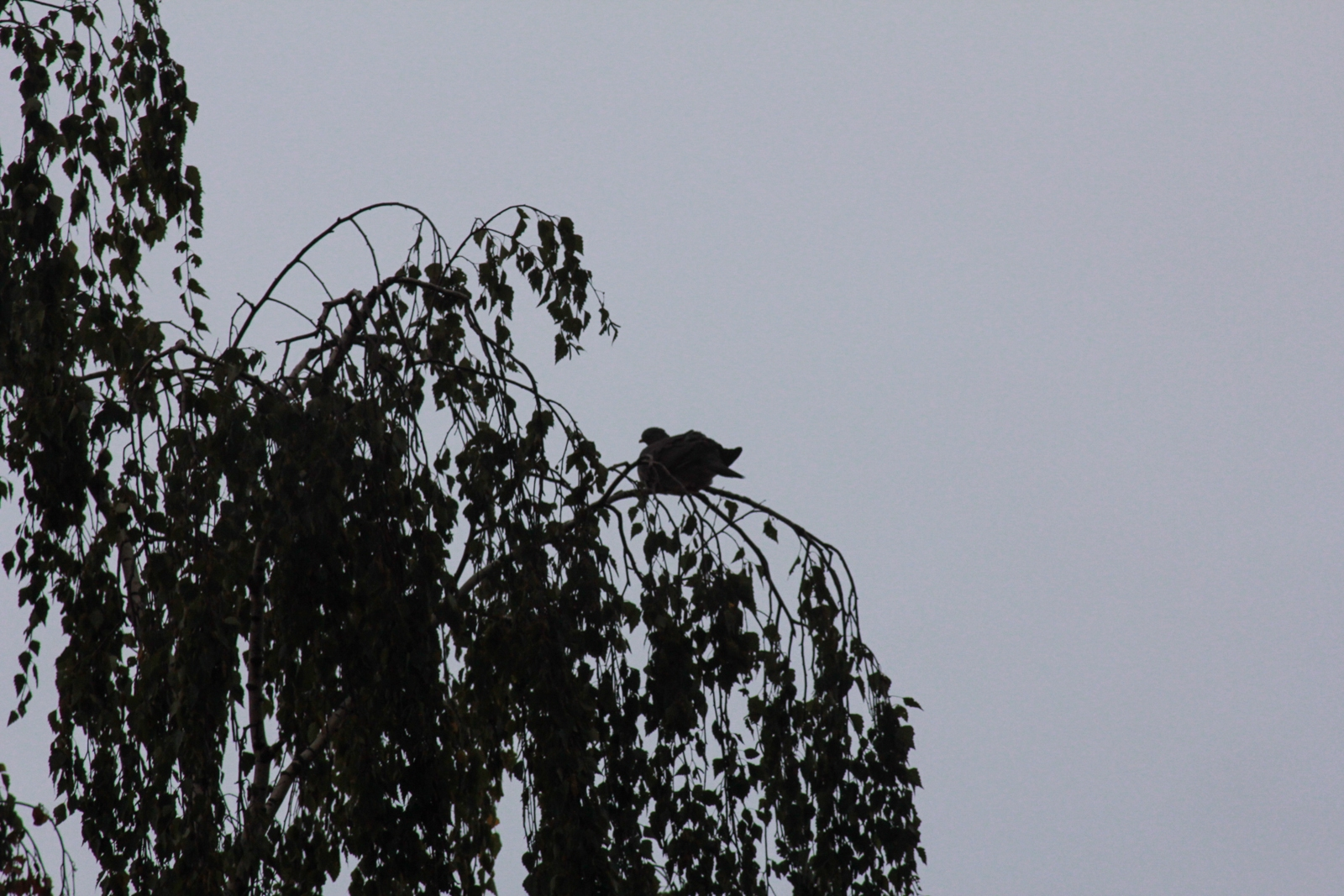 Taube auf Birke im Sturm