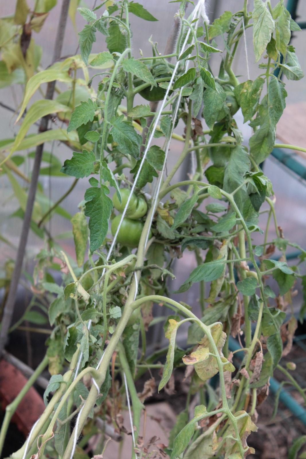 Tomate Limanchino