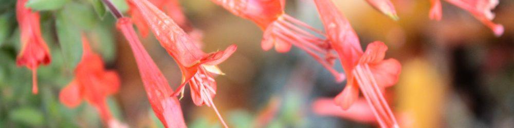 Zauschneria californica ssp. latifolia