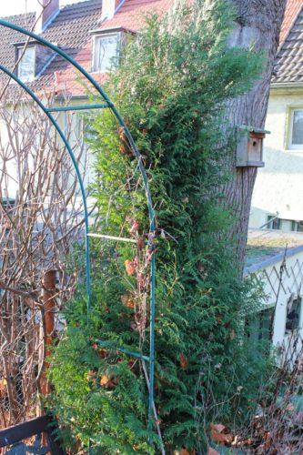 Lebensbaum Thuja