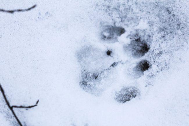 Spuren im Schnee KAtze