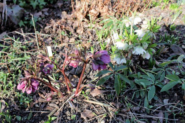 Lenzrosen Helleborus orientalis