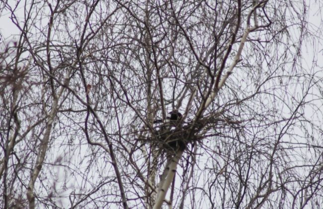 Nestbau Elstern