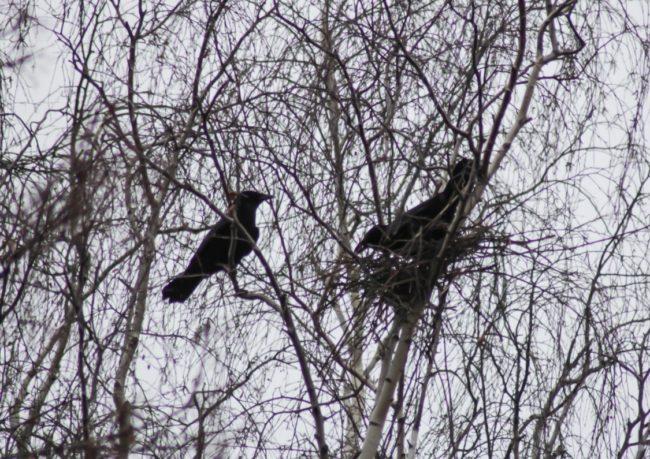 Krähen okkupieren Elsternnest