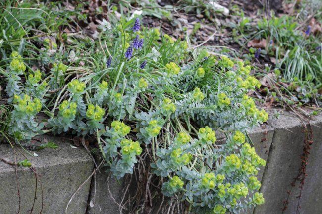 Walzenwolfsmilch Euphorbia myrsinites