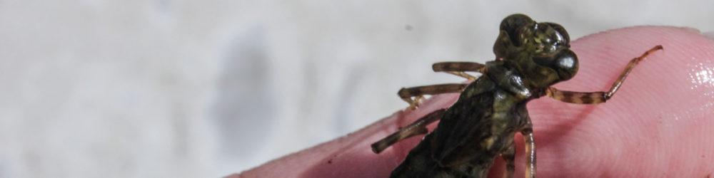 Libellenlarve Mosaikjungfer