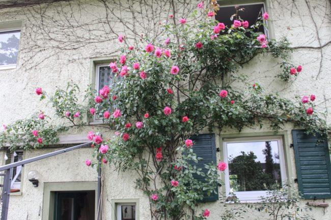 Rose Rosenresli