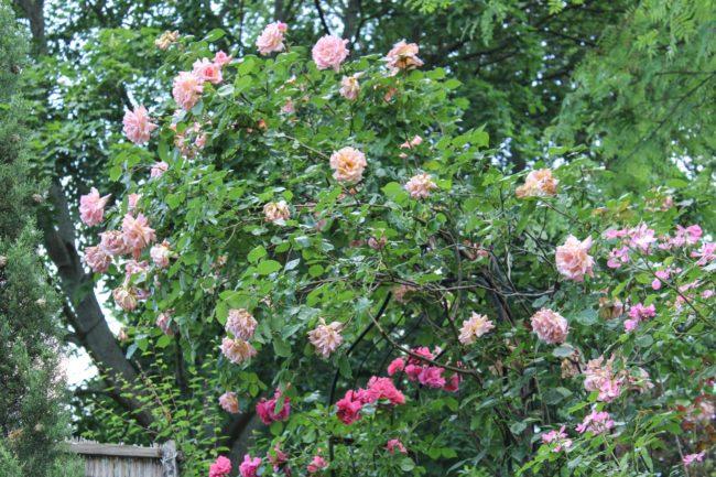 Rose Comapaassion