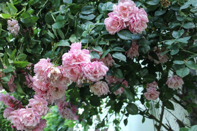 Rose Coral Dawn