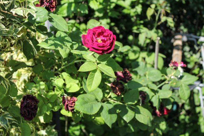 Rose 'Souvenier du Dr. Jamain'