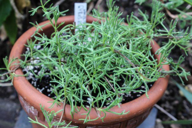 Gyros-Kraut Artemisia caucasica