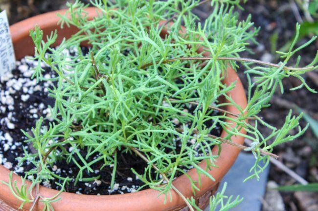 Gyros-Kraut (Artemisia caucasica)