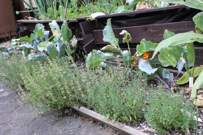 Gemüsebeet mit Kohl und Thymian