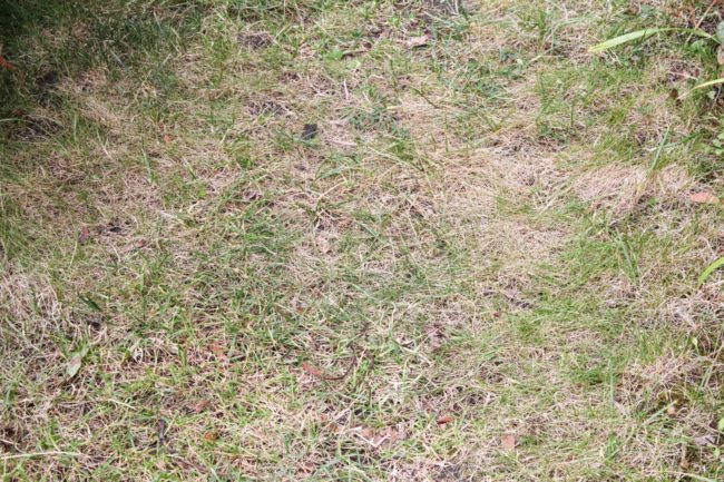 Rasen Dürre