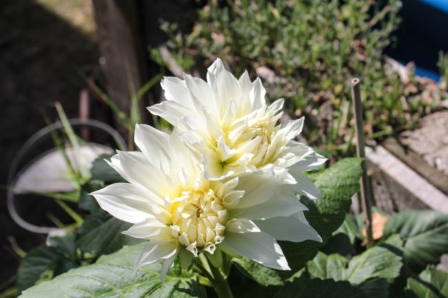 Dahlie 'White Onesta'
