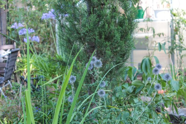 Echinops bannaticus Bannater Kugeldistel