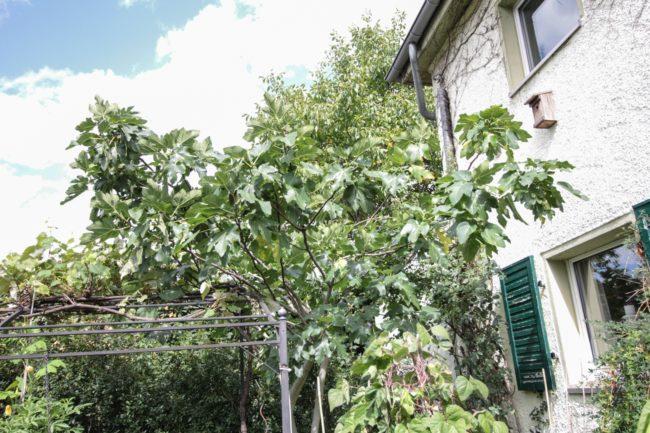 Feige/ Schnitt/ Baum/ Ernte