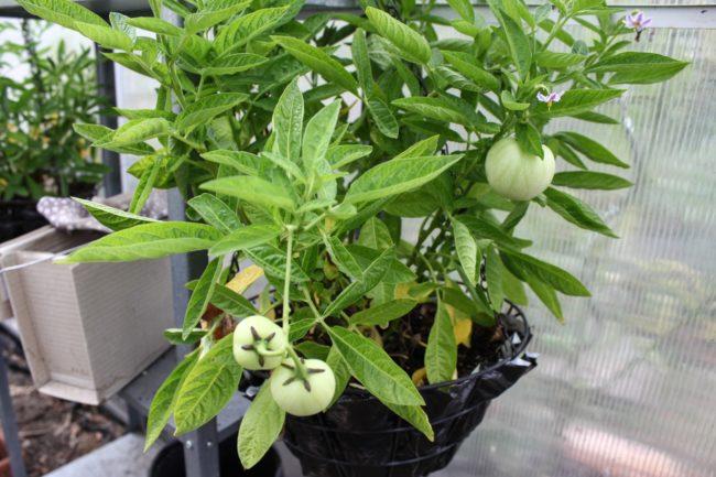 Pepino Solanum muricatum