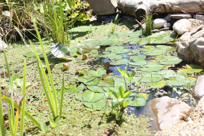 Algenbekämpfung im Teich