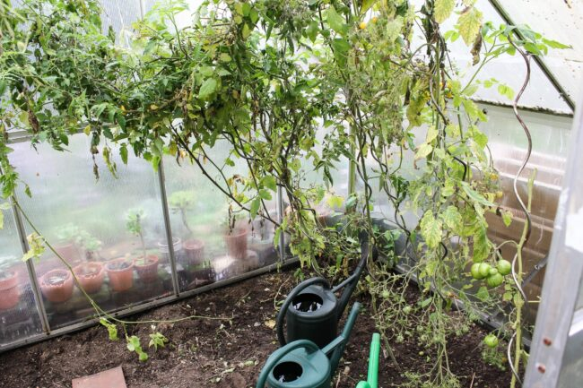 Tomaten im Gewächshaus.