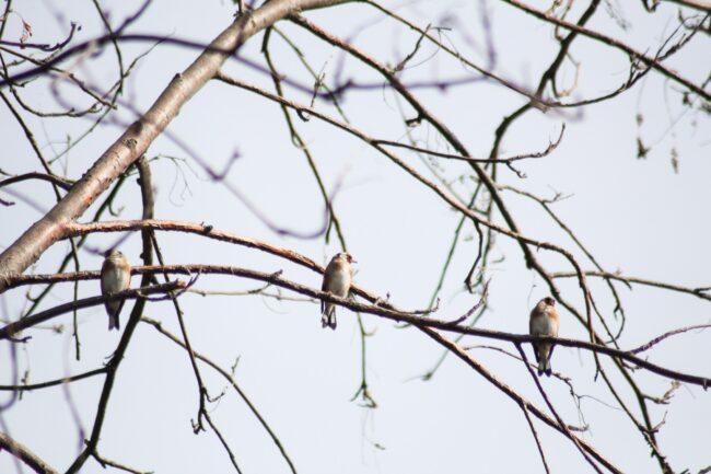 Stieglitze Distelfinken