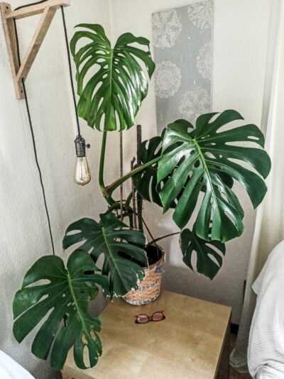 Monstera deliziosa